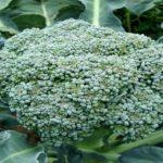 broccoli kampos