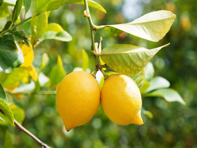 lemon kampos