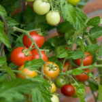 tomato kamposcoop