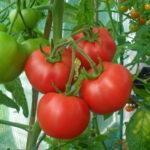 tomatoes kampos